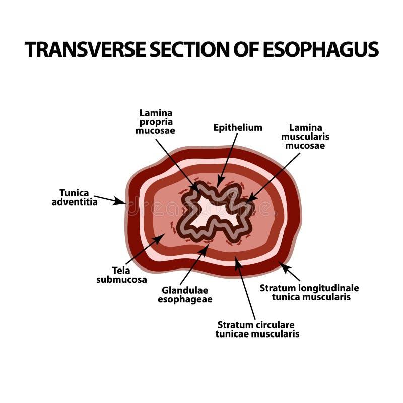 Поперечный раздел esophagus Инфографика Иллюстрация вектора на изолированной предпосылке бесплатная иллюстрация