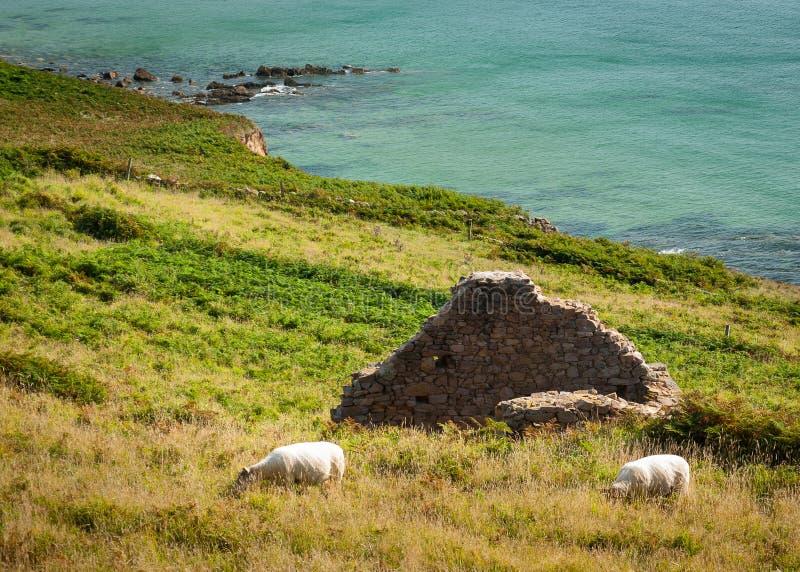 Поплавайте вдоль побережья с руинами и овцами около Auderville, Нормандии Франции в su стоковое изображение rf