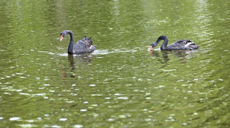 Поплавок 2 черных лебедей в озере Красивая концепция живой природы стоковое фото