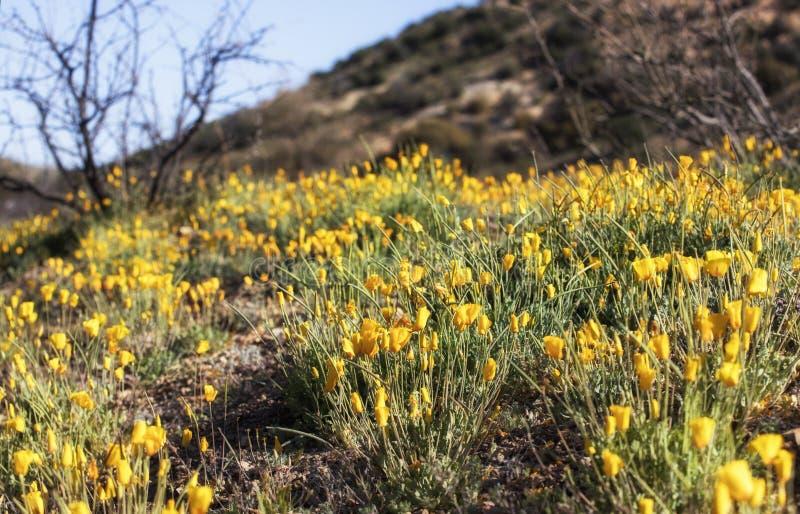 Поппи Нью-Мексико стоковая фотография rf