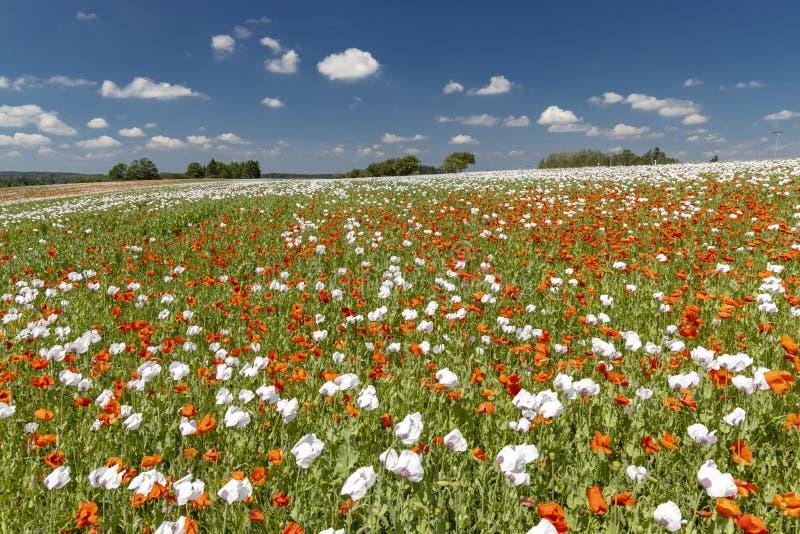 Поппи-поле, Высоокина около Здар-над-Сазаву, Чешская Республика стоковые изображения