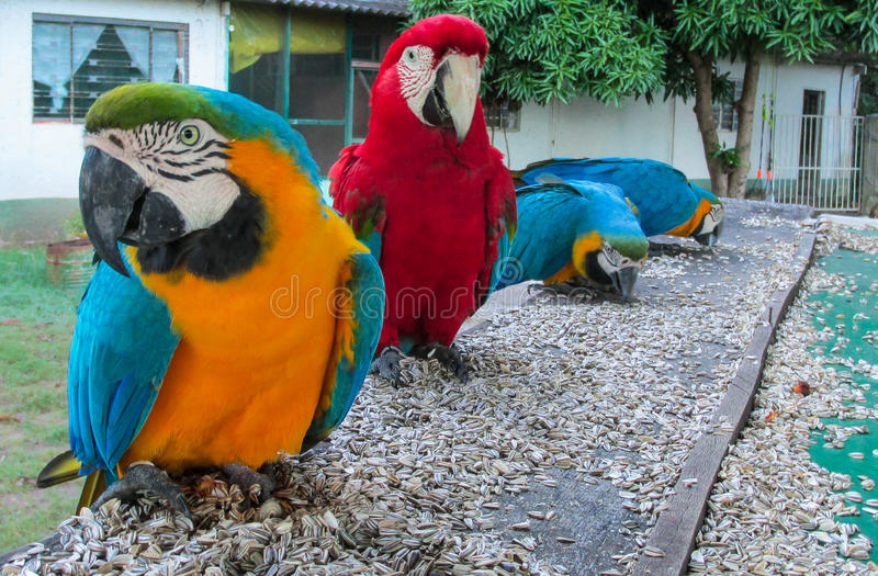 Попугаи ары голубых, красных, зеленых и желтых пер большие стоковая фотография