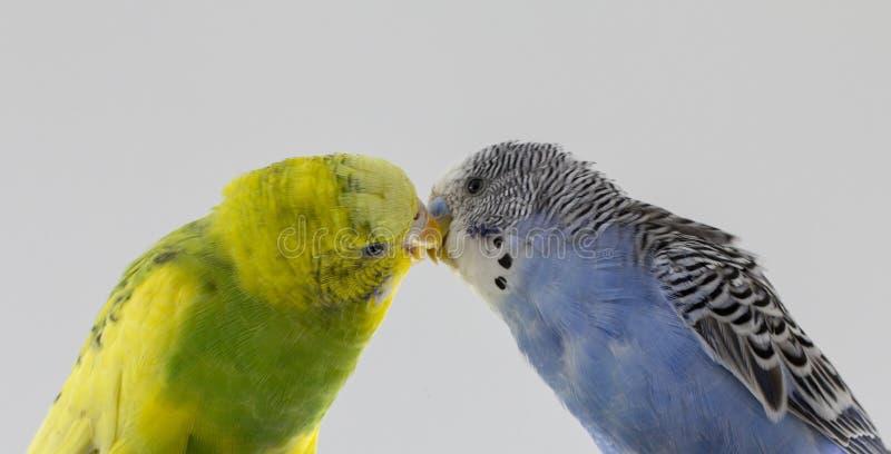 Попугаи поцелуя волнистые Маленькие птицы касались каждому other' клювы s стоковые фото