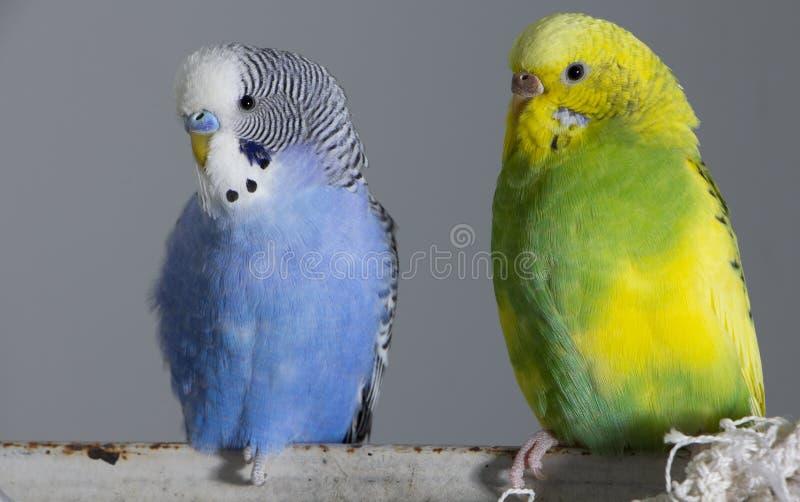 Попугаи поцелуя волнистые Маленькие птицы касались каждому other' клювы s стоковое изображение rf