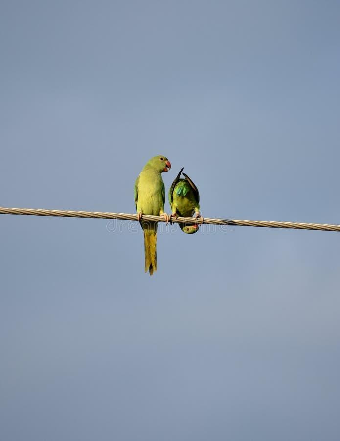 Попугаи утра стоковое изображение rf