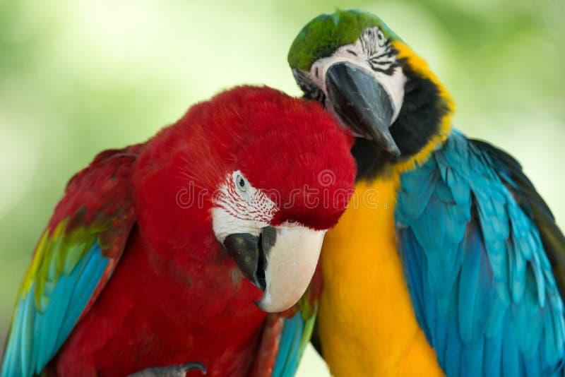Download Попугаи стоковое фото. изображение насчитывающей цветасто - 33729956