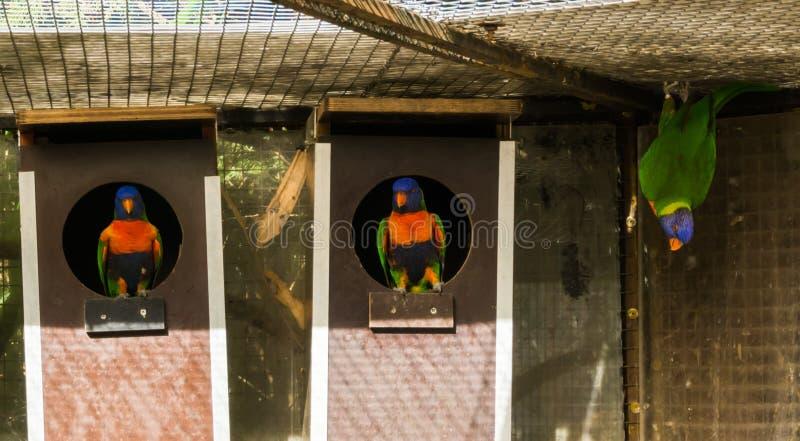 Попугаи lorikeet радуги сидя в birdhouses и одной смертной казни через повешение на потолке в aviary, красочных птицах от Австрал стоковое фото