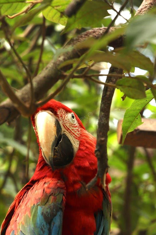 Попугай ары в национальном парке Madidi стоковые изображения rf