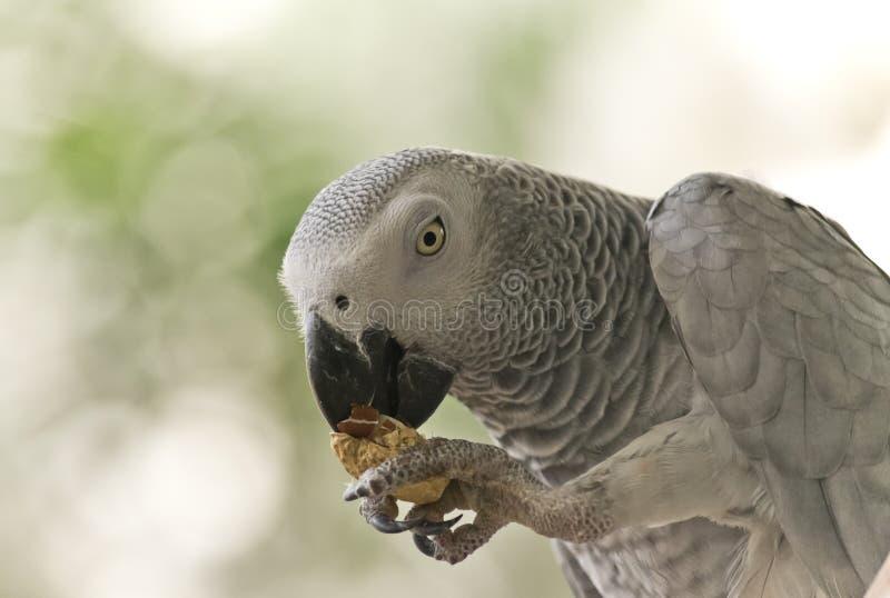 Попугай африканского серого цвета Конго стоковое изображение rf