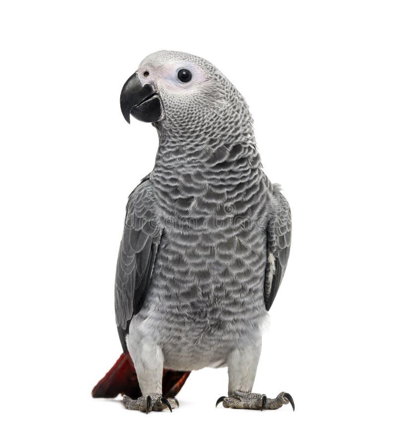 Попугай африканского серого цвета (3 месяца старого) стоковое фото