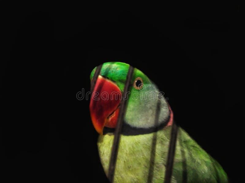 Попугай в клетке смотря камеру стоковое изображение rf