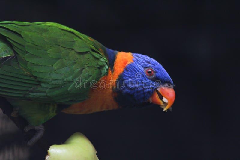 Попугай есть яблоко стоковые фотографии rf