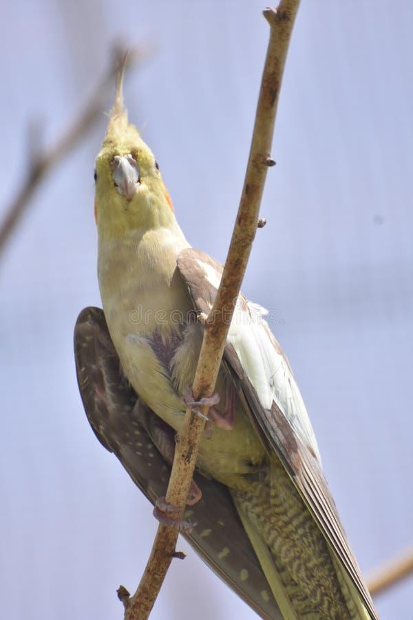 Попугай Конго серый отдыхая на ветви в диком стоковое фото