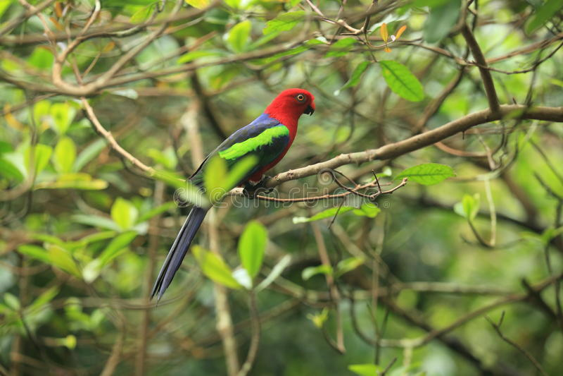 Попугай короля папуасския стоковая фотография