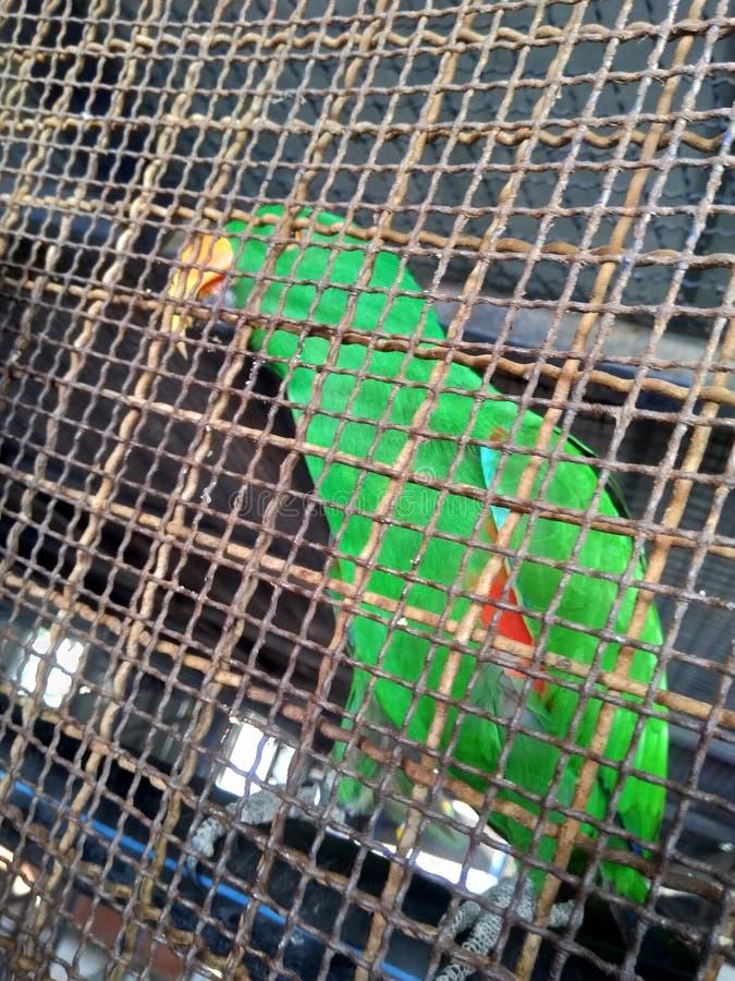 попугай найденный в клетке стоковое фото rf