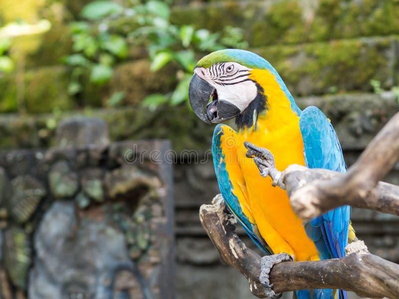Попугай на зоопарке Бали в Индонезии стоковое изображение