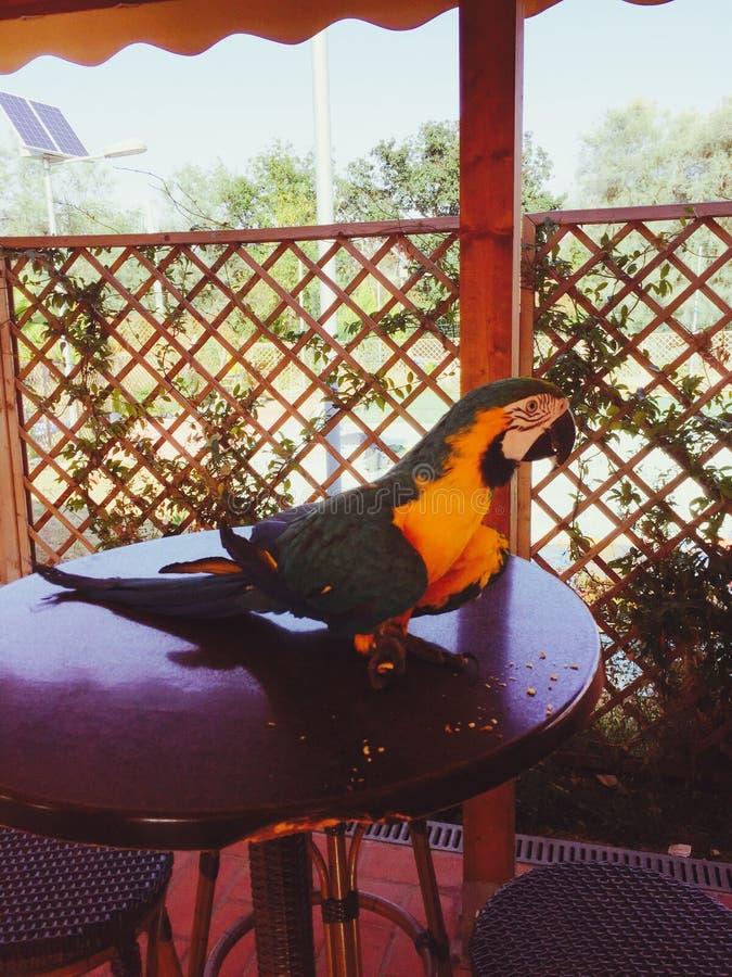 Попугай на таблице стоковая фотография rf