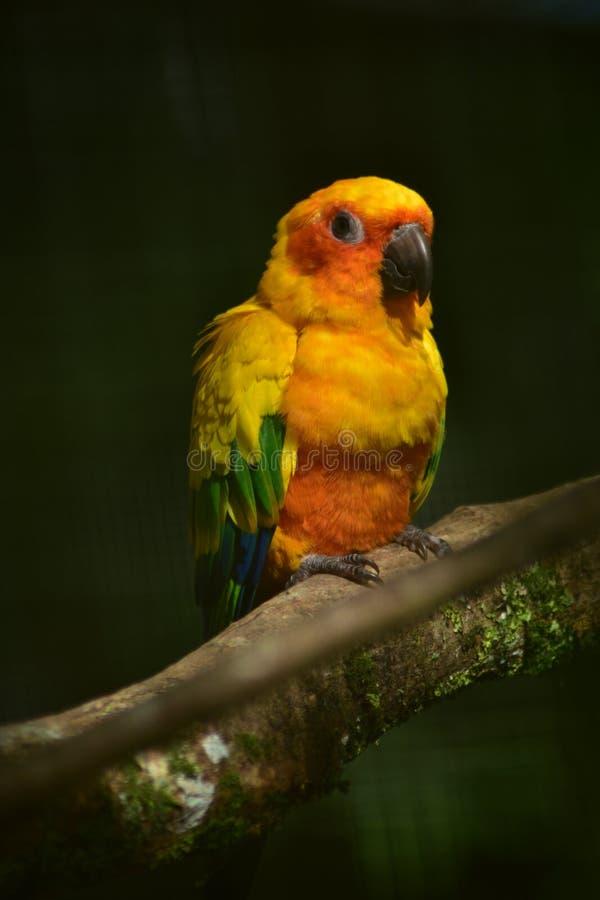 Попугай Солнце Conure, зеленый желтый оранжевый красный цвет и цвет сини стоковое изображение rf