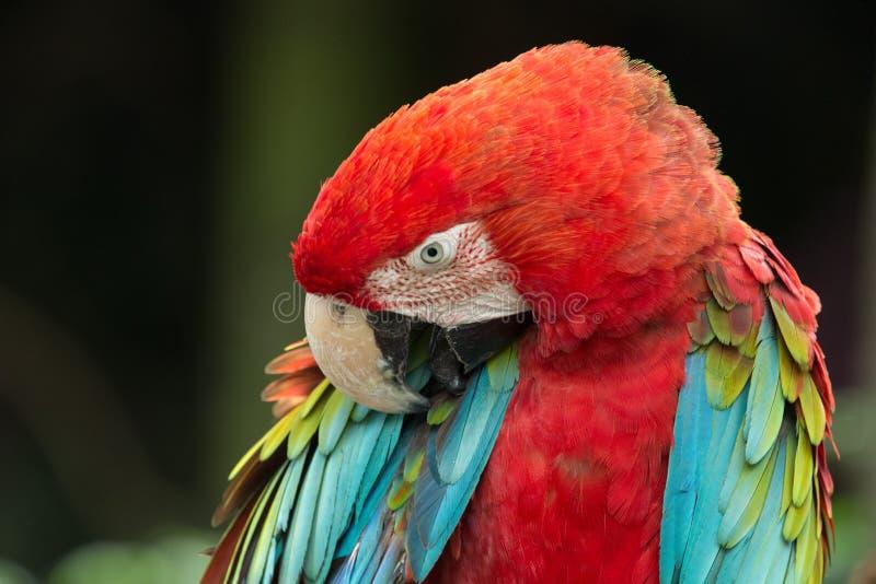Download Попугай стоковое изображение. изображение насчитывающей bluets - 33729477