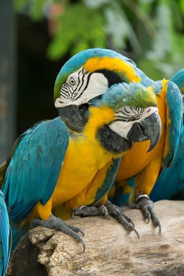 Download Попугай стоковое фото. изображение насчитывающей яркое - 33729516