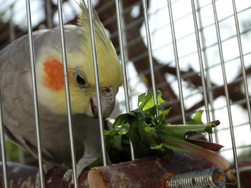 Попугай Cockatiel есть завод стоковые изображения rf