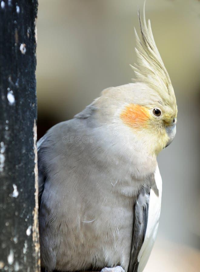 Попугай Cockatiel стоковые изображения rf