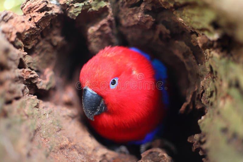 Попугай Eclectus в полости дерева стоковые фотографии rf