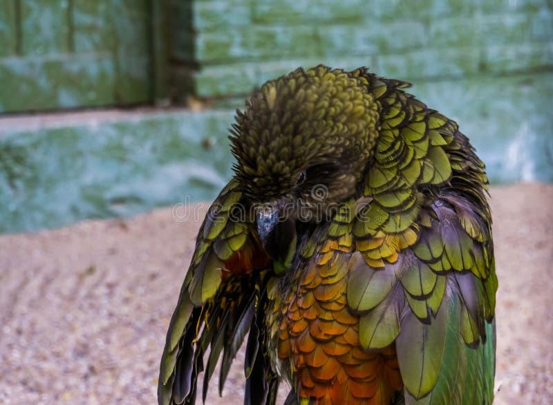 Попугай Kea прихорашиваясь свои пер, высокогорный попугай от Новой Зеландии, угрожаемого specie птицы стоковая фотография