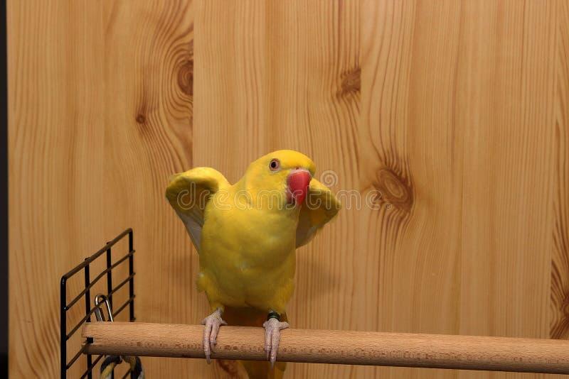 Попугай Ringneck индейца получая готовый лететь стоковые изображения rf