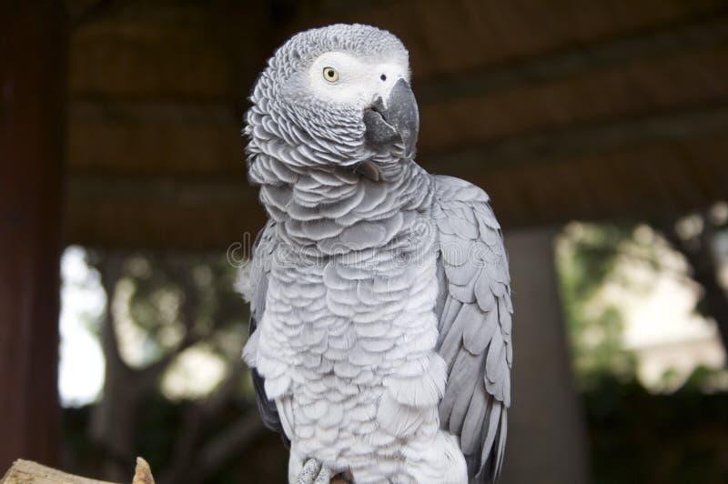 попыгай африканского серого цвета стоковое фото