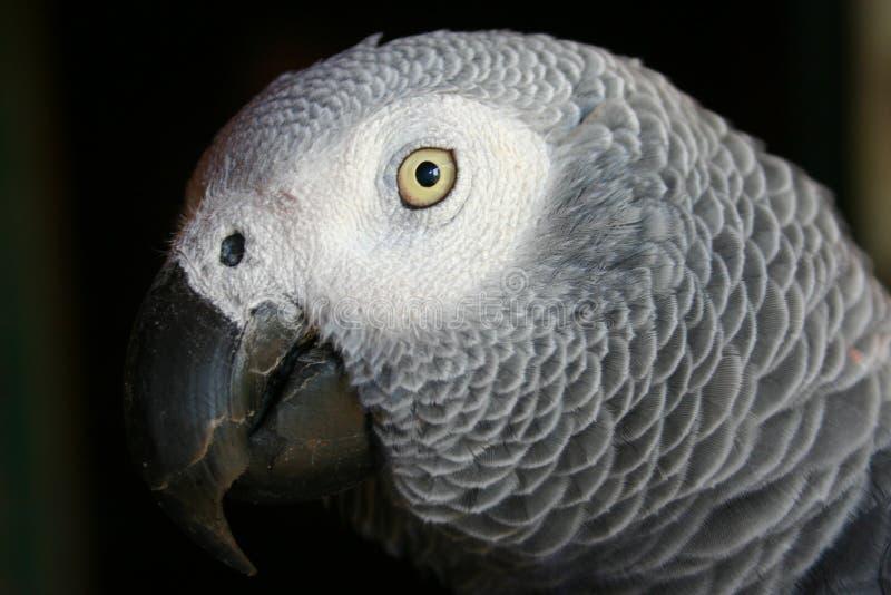 Download попыгай африканского серого цвета Стоковое Изображение - изображение насчитывающей попыгай, глаз: 78017