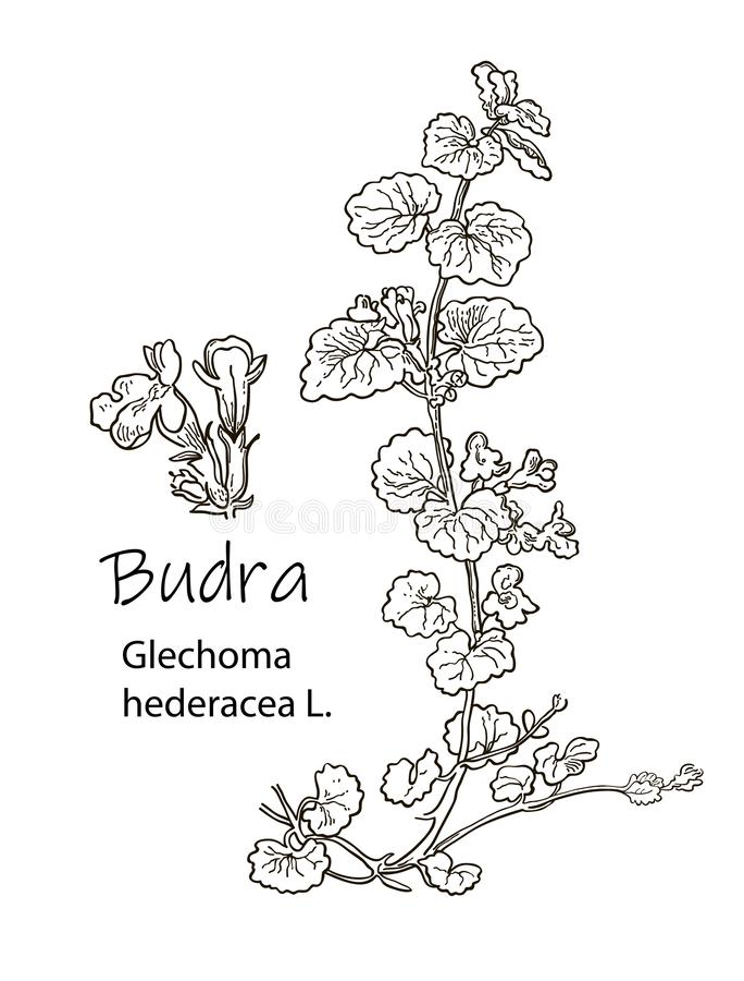 ???? ???????? ???? Geneeskrachtige hederaceahand getrokken botanische vectorillustratie van Glechoma van de kruidhondsdraf stock fotografie