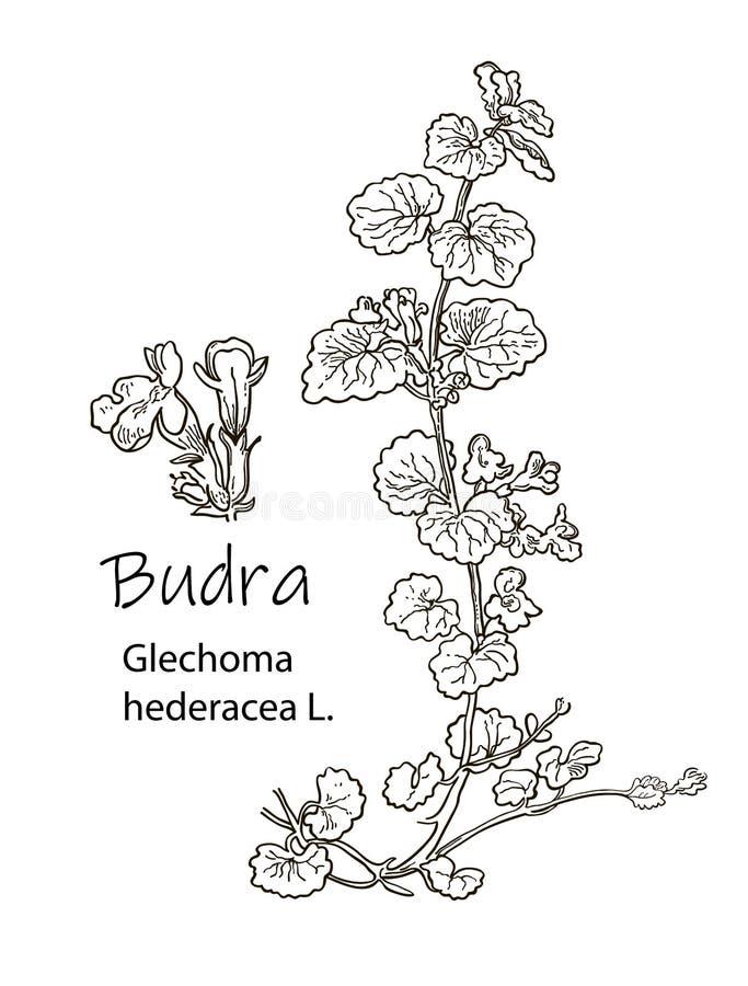 ???? ???????? ???? Medizinische Krautbodenefeu Glechoma hederacea Handgezogene botanische Vektorillustration vektor abbildung