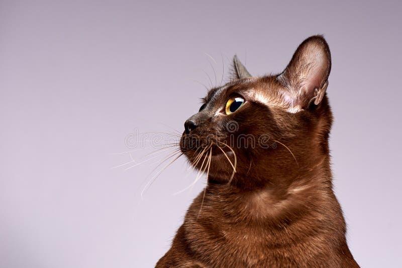 Порода Бирма кота на светлой предпосылке стоковое фото rf