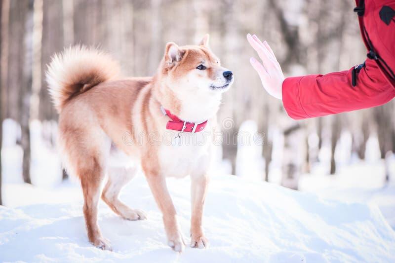 Порода inu Shiba собака играет с девушкой, знаком стопа выставок руки, на стоковые изображения rf