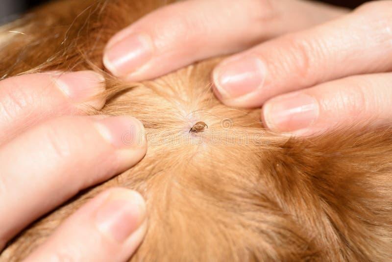 Порода spaniel породы собаки тиканий красная стоковое фото