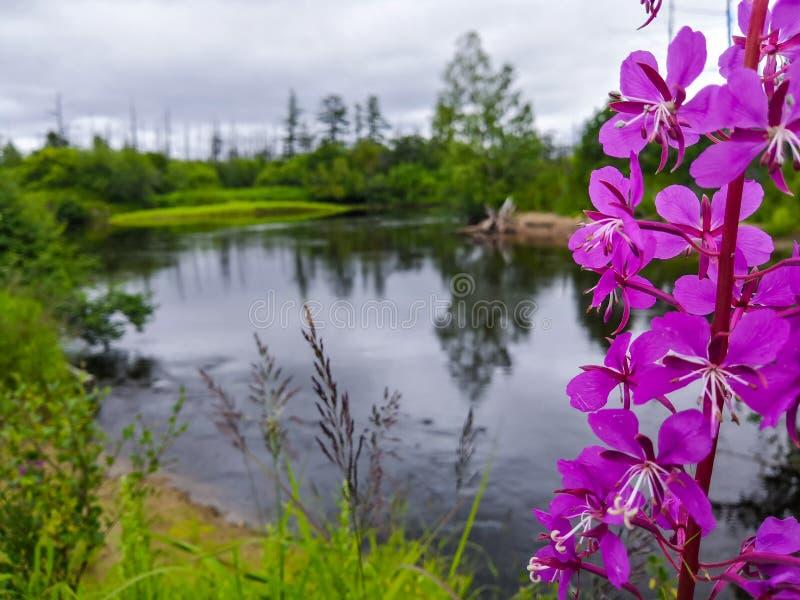 Порождать реку области Сахалина, внутренние воды в лесе, состав с различными планами, выборочный фокус на пурпуре стоковые изображения