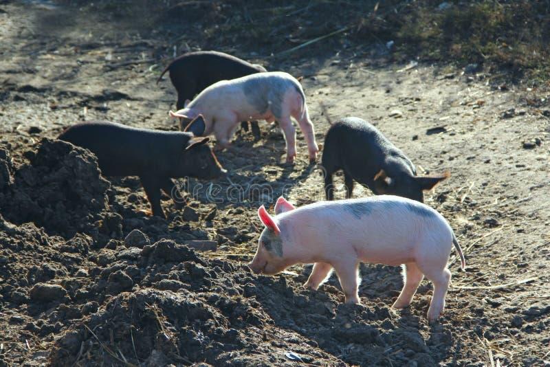 Поросята играют и веселый бег во дворе фермы стоковые изображения rf