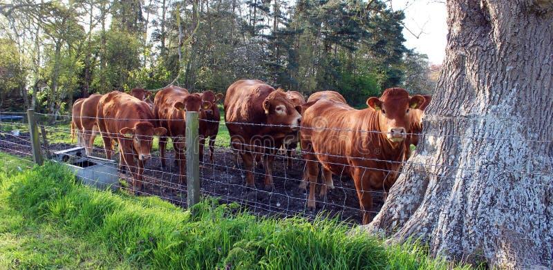 Порода коровы британцев Лимузина стоковые фото