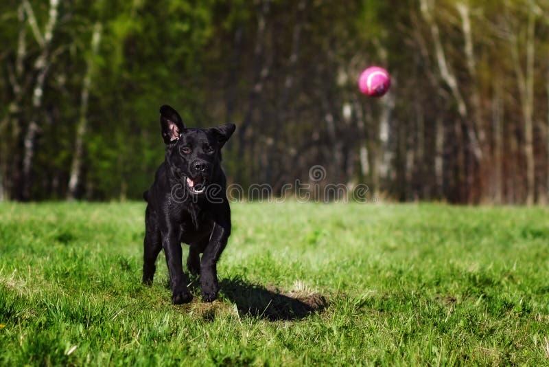 Порода Лабрадор собаки недостатка играя с шариком стоковые изображения rf