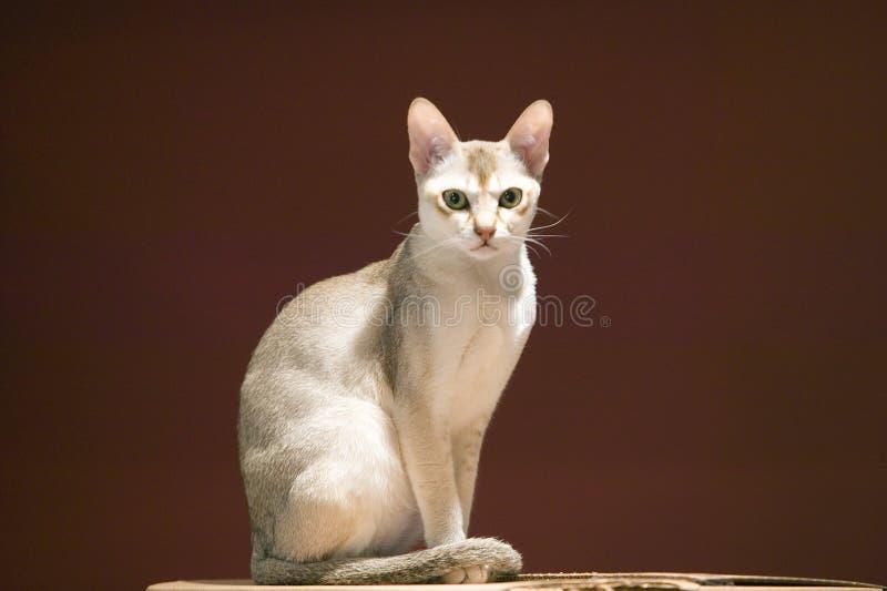 Порода Singapura кота, объявленная, что правительством Сингапура быть живущим национальным монументом стоковая фотография rf