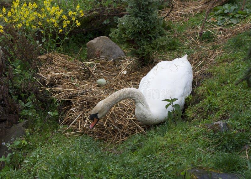 Породы лебедя в его фото гнезда стоковые фотографии rf