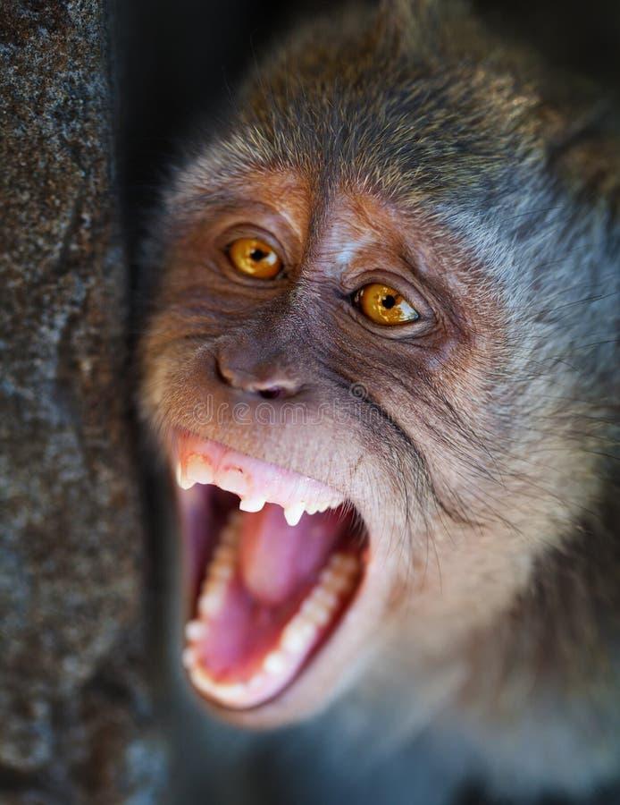 Портрет агрессивныйого конца обезьяны вверх стоковое фото