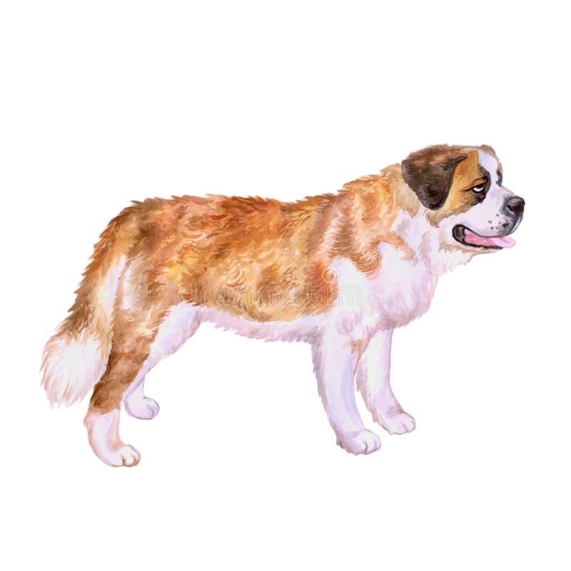 Портрет акварели собаки породы St Bernard швейцарского высокогорного mastiff красной на белой предпосылке Любимчик нарисованный р стоковое изображение