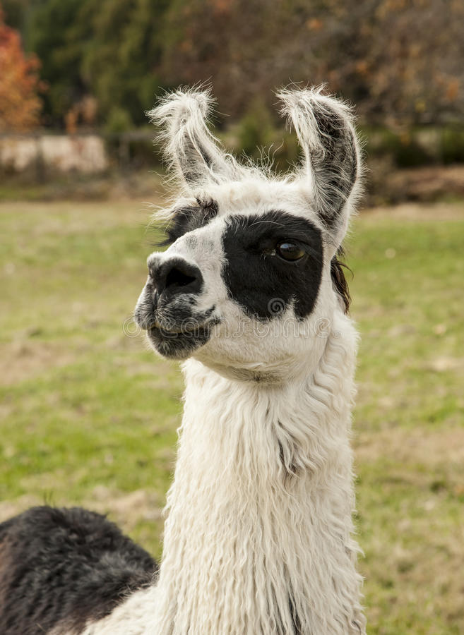Портрет альпаки стоковая фотография rf