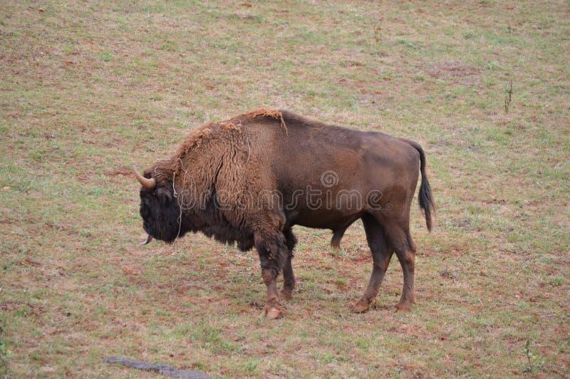 Портрет американского бизона пася в природном парке шахты Cabarceno старой для извлечения утюга 25-ое августа 2013 Cabarceno стоковые изображения