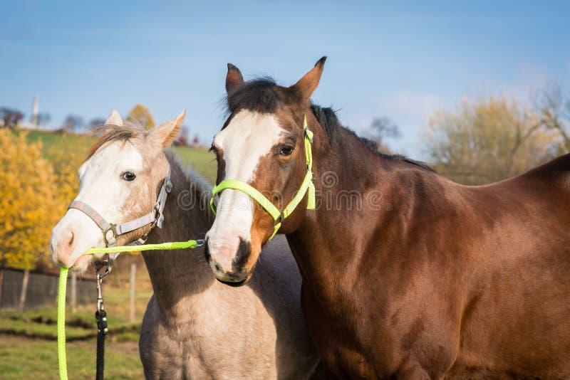 Портрет американской конематки лошади краски с новичком держа ее поводок стоковое изображение rf