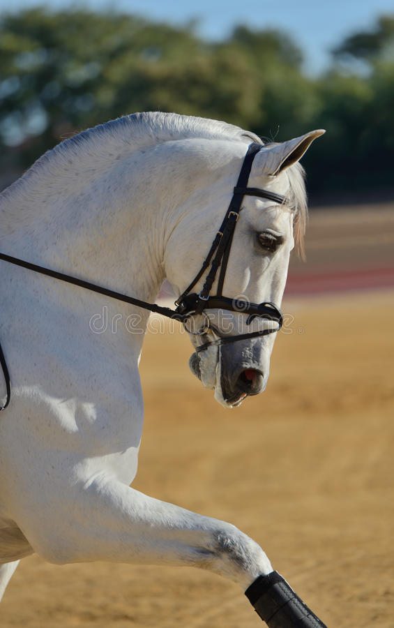 Портрет андалузской лошади стоковое изображение rf