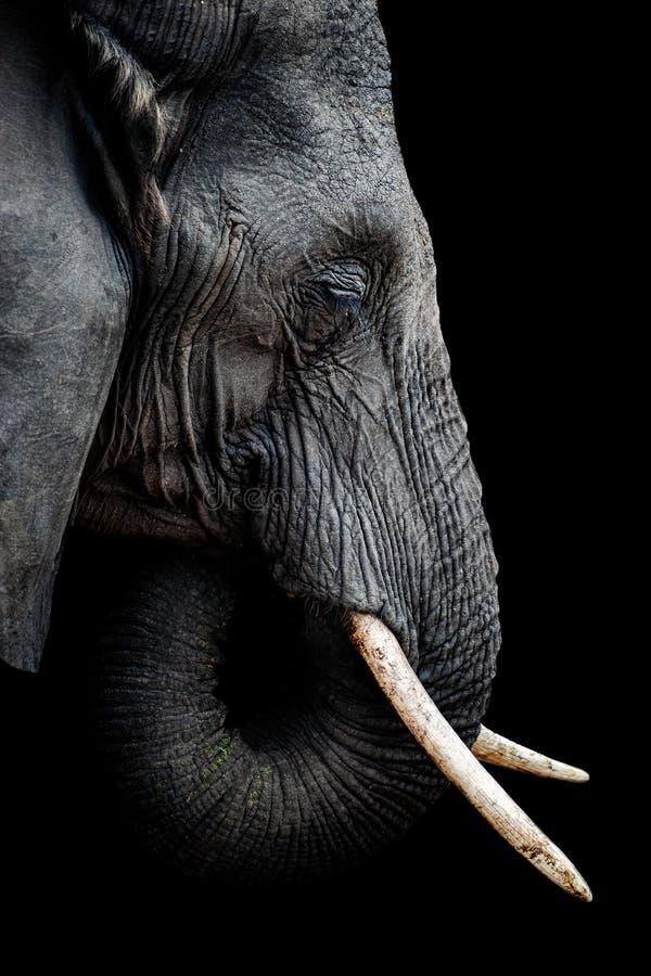 Портрет африканского слона стоковые фотографии rf