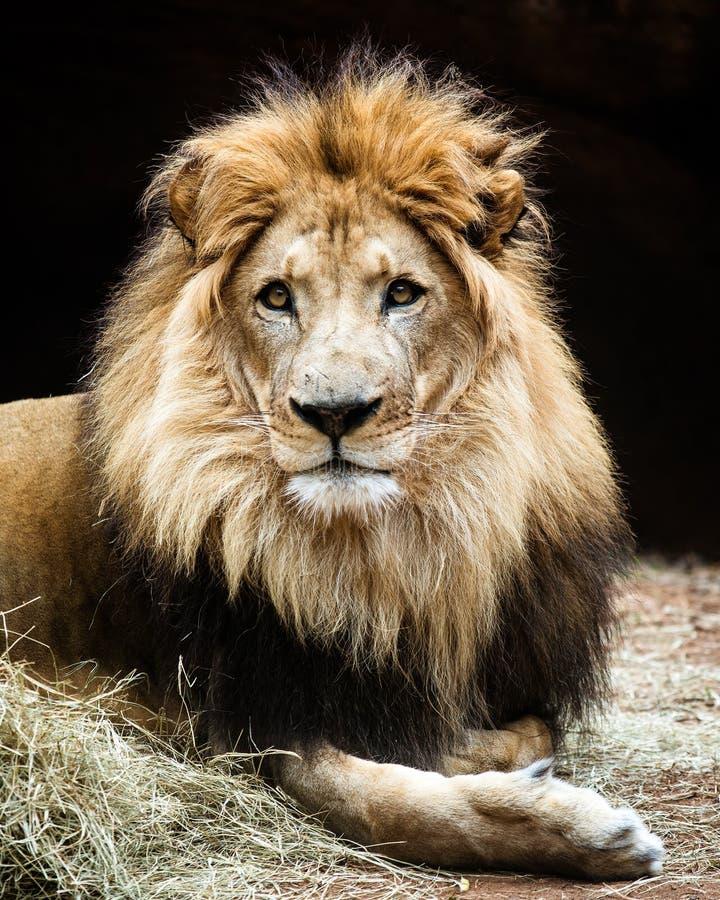 Портрет африканского льва стоковая фотография rf